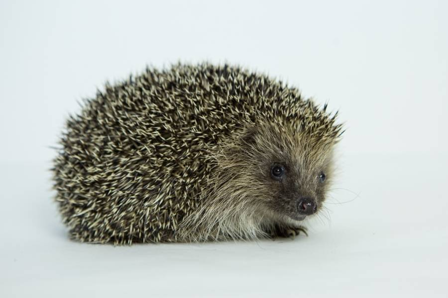 Meet The Hedgehogs: The Series
